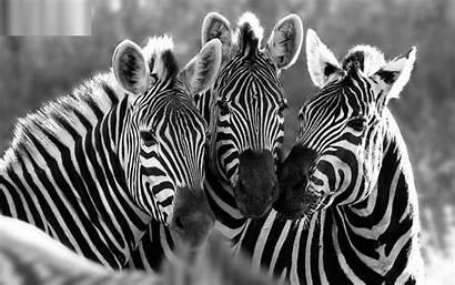 Zebra Wallpapers Computer Desktop