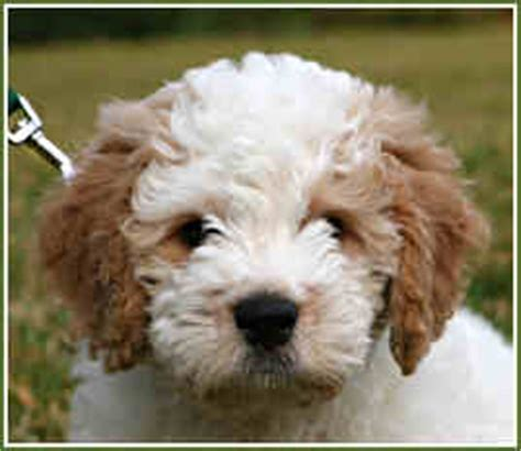 timshell farm petite goldendoodle puppy buddy