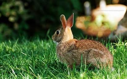 Rabbit Wallpapers Animals Grass Desktop Striped Animal