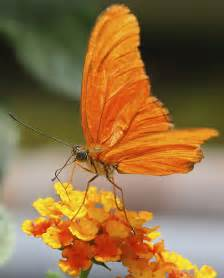 Orange Butterfly On Lantana