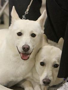 18 best Canaan Dog images on Pinterest | Israel, Animals ...