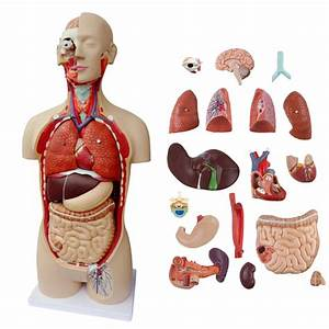 Top Quality 85cm Human Anatomical Model Organ Trunk System