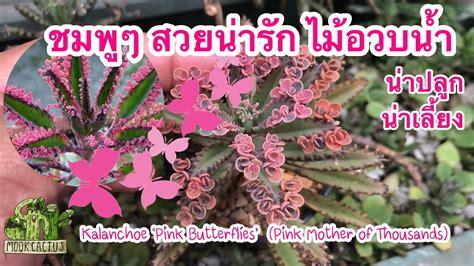 ไม้อวบน้ำ น่าปลูก น่าเลี้ยง Kalanchoe 'Pink Butterflies ...