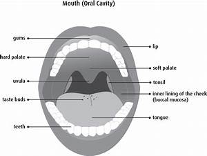 28 Diagram Of The Mouth