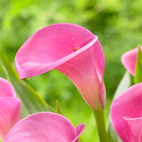 pink calla lillies calla lily pink diamond longfield gardens