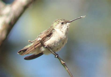 identification tips when birding costa rica small plain