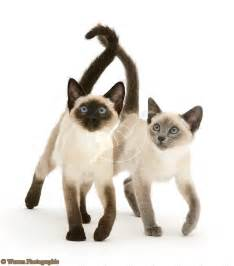 Blue Seal Point Siamese Cats