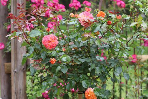 Im Herbst Schneiden by Schneiden Im Herbst Rosenschnitt Im Herbst