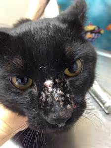 scabs on cat scabs on dogs ears and nose