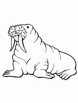 Walrus Coloring Printable Pages Arctic Animals Template Drawing Designlooter Drawings Getcoloringpages Clipartmag Bestcoloringpagesforkids 06kb 1600px 1200 sketch template