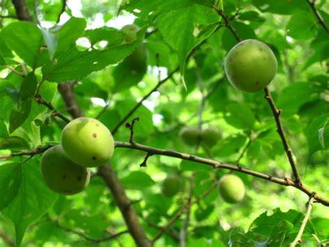 fruitless plum tree plum tree pictures general information on plum trees