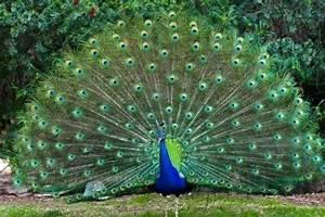 Animal Lovers: Indian Peacock (AKA Peafowl)
