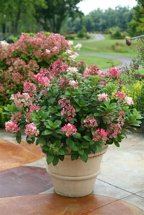 feeding hydrangeas in pots 25 beautiful hydrangea ideas on limelight hydrangea hydrangea tree and