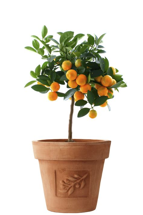 Citrus Trees The Indoor Growing Guide  Brighter Blooms