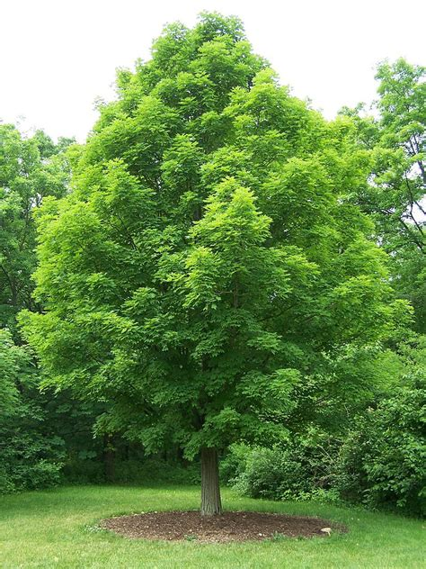 names of maple trees file acer saccharum jpg wikimedia commons