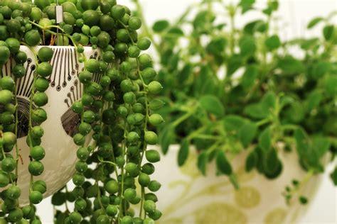 string  pearls plant cuttings   propagate  string