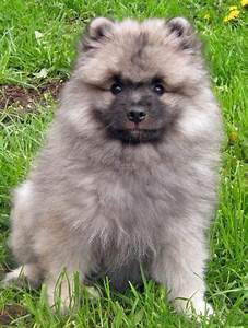 Banjo the Keeshond | Puppies | Daily Puppy