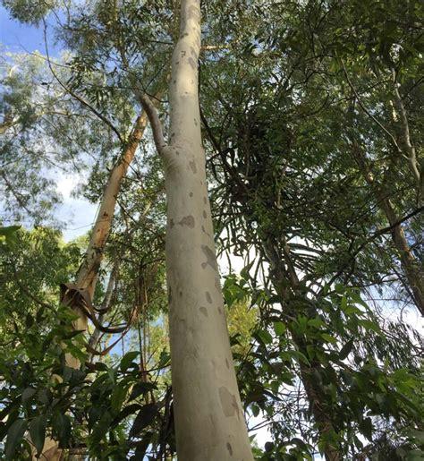 gardensonline corymbia maculata