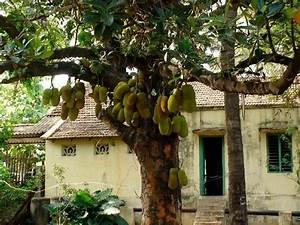 ARUNACHALA LAND: Jackfruit Tree