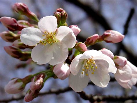 Cires in floare | Plants, Flowers, Spring