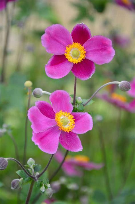 herbstblumen und stauden sorgen f 252 r den zweiten fr 252 hling