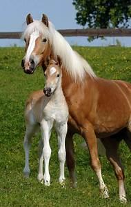 Bilder Von Pferden : haflinger blonde pferde aus den alpen bilder m ~ Frokenaadalensverden.com Haus und Dekorationen