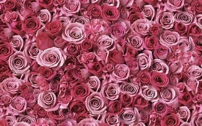 Roses Flowers Pink Flower
