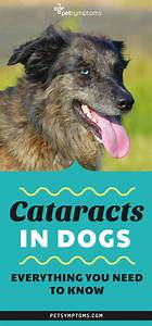 Cataracts In Dogs | Everything You Need To Know