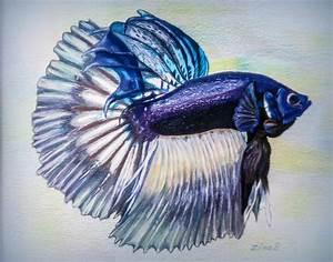 betta fish drawing - Google Search | ♥ Betta Fish ...