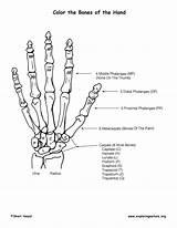 Coloring Hand Bones Bony Features Anatomy Skeletal System Exploringnature Pdf Text sketch template