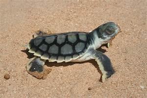 Sea Turtle Tipster - Trivia