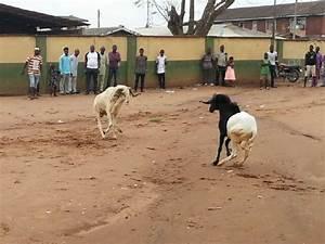 Ram Fight Event @ Sango Ota,ogun State - Culture - Nigeria