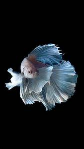 Apple IPhone 6s Wallpaper With Silver Albino Betta Fish In