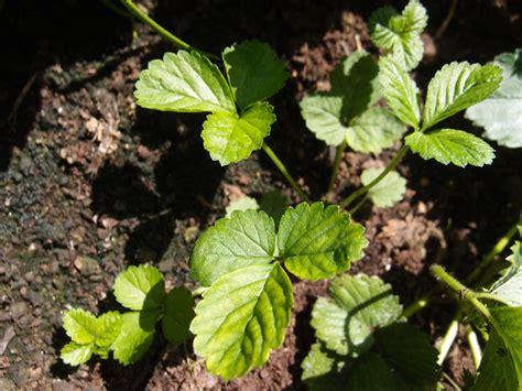 Erdbeeren Im Garten Winterfest Machen by Fragen Zu Erdbeeren Im Hochbeet