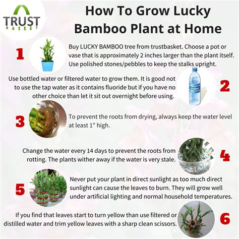 how to grow bamboo at home how to grow lucky bamboo plant at home growingtips gardeningtips luckybamboo planttips