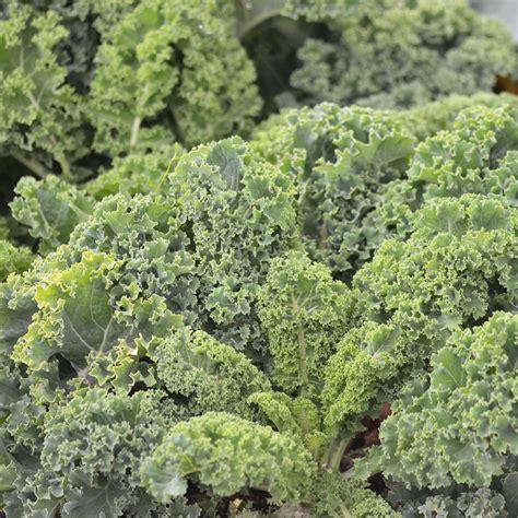 but cuisine avis chou kale demi nain de westland nt ferme de sainte marthe