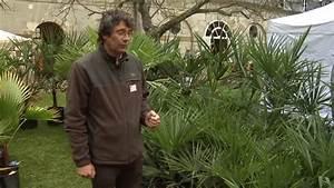 Mimosa Résistant Au Froid : les palmiers r sistant au froid youtube ~ Melissatoandfro.com Idées de Décoration