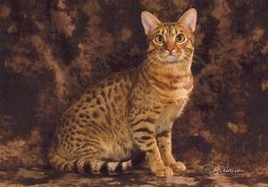 Ocicat - Water-Coloured Eyes Cattery