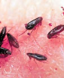 can bed bugs live on cats diy how to get rid of fleas using