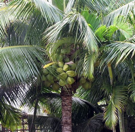 coconut palm wiktionary