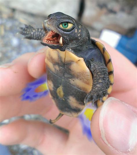 Cute Box Turtle Wwwimgkidcom The Image Kid Has It