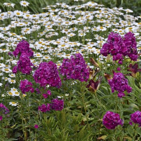 Phlox Nicky Tall Garden Phlox Garden Yard Plants