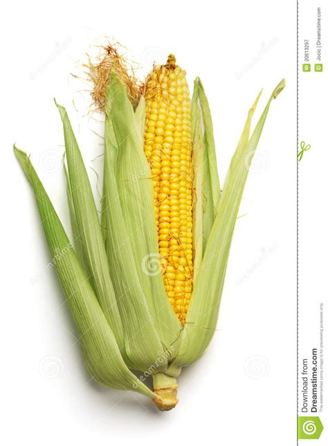 ear  corn royalty  stock photography image