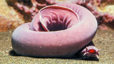 How the slimy hagfish ties itself up in knots—and survives ...