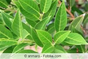 Kirschlorbeer Braune Blätter : kirschlorbeer hat braune bl tter was tun ~ Lizthompson.info Haus und Dekorationen