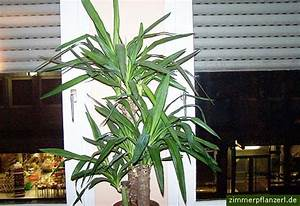 Yucca Palme Yucca Gigantea Syn Elephantipes