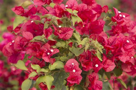 bougainvillea colors vibrant bougainvillea colors to brighten up your dormant arena