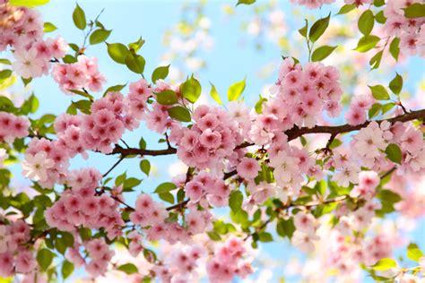 fruehling kirschbluete im april rosa flickr photo sharing