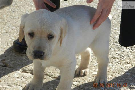 meet victorias boy  cute labrador retriever puppy
