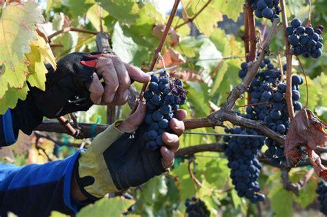 wine grape harvest underway   umpqua valley